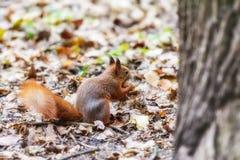 Ardilla en un bosque Foto de archivo libre de regalías