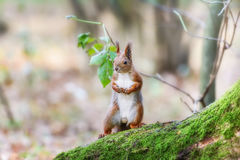 Ardilla en un bosque Imagen de archivo