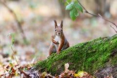 Ardilla en un bosque Fotografía de archivo libre de regalías