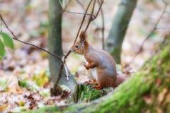 Ardilla en un bosque Foto de archivo
