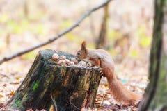 Ardilla en un bosque Imagen de archivo libre de regalías