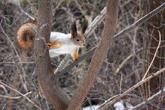 Ardilla en un ?rbol en el bosque de la primavera fotos de archivo