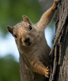 Ardilla encima de un árbol Imagen de archivo libre de regalías