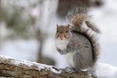 Ardilla feliz en nieve del invierno imágenes de archivo libres de regalías