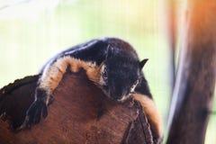 Ardilla gigante negra - ardilla gigante malaya foto de archivo libre de regalías