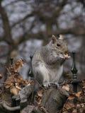 Ardilla gris Foto de archivo libre de regalías