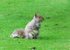 Ardilla gris Foto de archivo