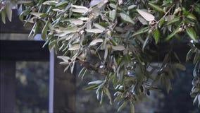 Ardilla gris británica que come las bellotas en invierno almacen de video