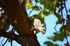 Ardilla gris en el árbol que hace frente abajo Imagenes de archivo