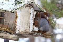 Ardilla gris en Finlandia Imagenes de archivo