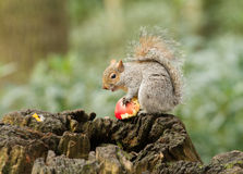 Ardilla gris que come una manzana roja con la cola espesa Foto de archivo