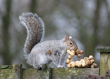 Ardilla gris que roba los cacahuetes significados para los pájaros. Fotografía de archivo