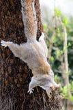 Ardilla gris que sube abajo un árbol Fotografía de archivo
