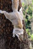 Ardilla gris que sube abajo un árbol Fotografía de archivo libre de regalías