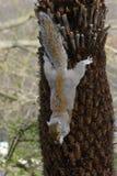 Ardilla gris que sube abajo un árbol Imágenes de archivo libres de regalías