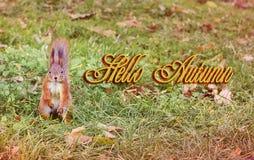 Ardilla hermosa en las hojas amarillas Ardilla roja Otoño hermoso Hola invierno Primavera fotos de archivo libres de regalías