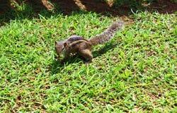Ardilla india de la palma en la hierba Foto de archivo libre de regalías