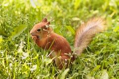 Ardilla linda que come la nuez en una hierba verde en un parque fotografía de archivo