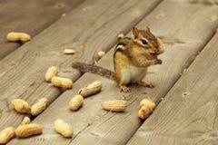 Ardilla listada con la lengua hacia fuera que come los cacahuetes Fotos de archivo libres de regalías