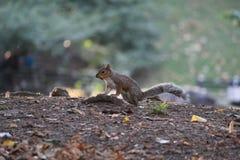 Ardilla listada del Central Park Imagen de archivo libre de regalías