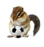 Ardilla listada divertida con el balón de fútbol aislado en blanco Foto de archivo