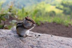 Ardilla listada en la roca que mastica las semillas de girasol fotos de archivo libres de regalías