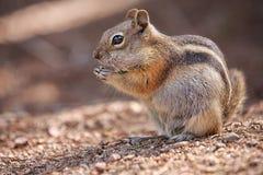 Ardilla listada en Rocky Mountain National Park Imagenes de archivo