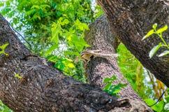 Ardilla listada en un árbol Foto de archivo