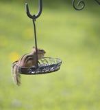 Ardilla listada en un alimentador del pájaro Fotos de archivo