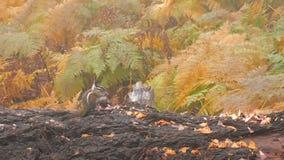 Ardilla listada en una clave el bosque del otoño almacen de video