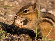 Ardilla listada que come el bulbo Imagen de archivo libre de regalías
