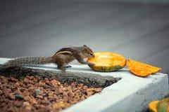 Ardilla listada que come el mango Imagen de archivo libre de regalías