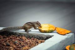 Ardilla listada que come el mango Fotos de archivo