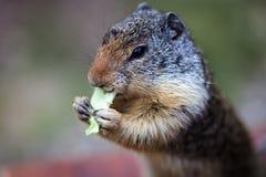 Ardilla listada que come lechuga Imagenes de archivo