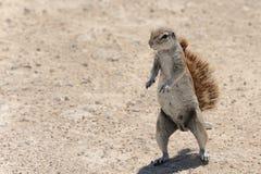 Ardilla, Namibia Foto de archivo