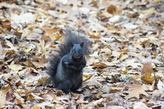 Ardilla negra, hojas de otoño Imagen de archivo