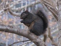 Ardilla negra que se sienta en rama de árbol imágenes de archivo libres de regalías