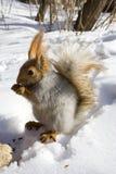 Ardilla nuts de roedura Foto de archivo libre de regalías