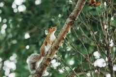Ardilla peluda roja que sube en rama de árbol Fotografía de archivo libre de regalías