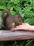 Ardilla que alimenta desde una mano Foto de archivo
