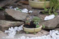Ardilla que alimenta en las plantas de jardín imagen de archivo