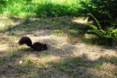 Ardilla que busca una nuez en la hierba imagenes de archivo