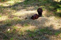 Ardilla que busca una nuez en la hierba fotografía de archivo