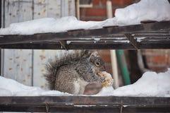 Ardilla que come durante invierno Foto de archivo