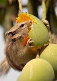 Ardilla que come el mango Fotos de archivo