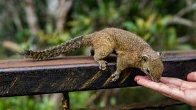 Ardilla que come la comida de la mano humana foto de archivo libre de regalías