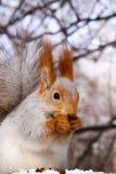 Ardilla que come la nuez en el árbol Foto de archivo libre de regalías