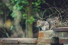 Ardilla que come la nuez en un parque Fotografía de archivo