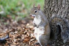 Ardilla que come nueces cerca de un árbol Fotos de archivo libres de regalías
