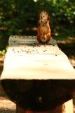 Ardilla que come nueces de cedro en el banco Imagen de archivo